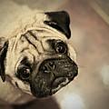 Pug Dog by Grumpymonkee