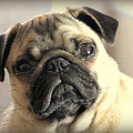 Pug Love by Judy Garrett