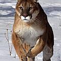 Puma At The Run by Vic Sharratt