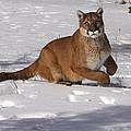 Puma On The Move by Vic Sharratt