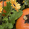 Pumpkin And Gerberas by Jim And Emily Bush