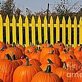 Pumpkin Corral by Susan Herber