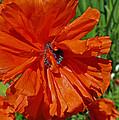 Pumpkin Poppy by Tikvah's Hope