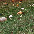 Pumpkins by Susan Herber