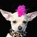 Punk Rock Chihuahua by Ritmo Boxer Designs
