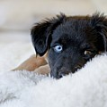 Puppy Lying On Soft Blanket by Angela Auclair