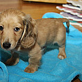 Puppy On Blue Blanket by Diana Haronis