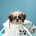 Puppy Sitting In Handbag by Martin Poole
