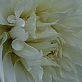 Pure Dahlia by Susan Herber