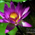 Purple And Gold Three by Ken Frischkorn