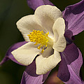 Purple And White Columbine Blossom Facing The Sun - Aquilegia by Kathy Clark
