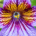 Purple And Yellow Flower by Ian Grainger