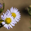 Purple Aster by Dianne Phelps
