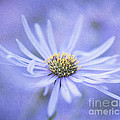 Purple Aster Flower by Neil Overy