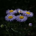 Purple Asters by Ernie Echols