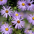 Purple Asters by Living Color Photography Lorraine Lynch