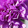 Purple Carnation by Aimee L Maher ALM GALLERY