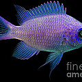Purple Chromis by Dant� Fenolio