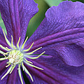 Purple Clematis by Peg Toliver