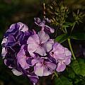 Purple Cluster Of Flowers by Douglas Barnett