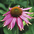 Purple Coneflower by Duncan Smith