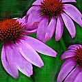 Purple Coneflower Trio by Kathy Clark