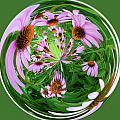 Purple Coneflowers by Steve Stuller