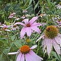Purple Coneflowers by Vonda Lawson-Rosa