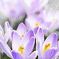 Purple Crocus Blossoms by Elena Elisseeva