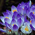 Purple Crocus Cluster Spring Choir by Terri Winkler