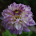 Purple Dahlia 3 by Ernie Echols