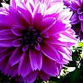 Purple Dahlia by April Patterson