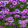 Purple Daisies Square by Carol Groenen
