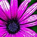 Purple Dew by Joshua Dwyer