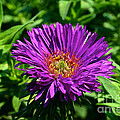 Purple Dome New England Aster by Susan Herber