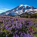 Purple Fields Forever by Mike Reid