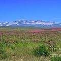 Purple fields in Montana