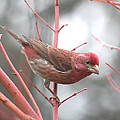 Purple Finch by Angie Vogel
