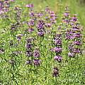 Purple Flower Field by Carol Groenen