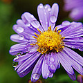Purple Flower Morning Dew by Joseph Halasz