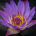 Purple Water Lily by Sean Wray