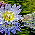 Purple Water Lily by Carol F Austin