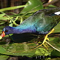 Purple Gallinule by Bruce J Robinson