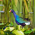 Purple Gallinule by Wild Expressions Photography
