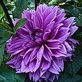 Purple Haze Dahlia by Mother Nature
