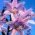 Purple Hosta Blooms by Davandra Cribbie