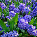 Purple Hyacinths by Greg Matchick