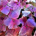 Purple Hydrangea by Elaine Plesser