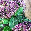 Purple Hydrangeas by Debbie Portwood