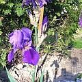 Purple Iris by Cynthia Payne